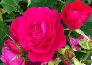 Rose-Aroma-Intro